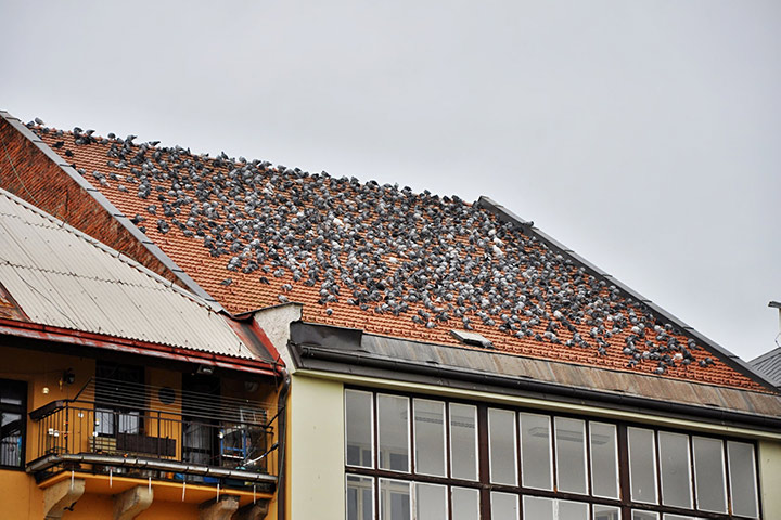 A2B Pest Control are able to install spikes to deter birds from roofs in Covent Garden.